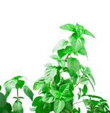 Fresh green Basil herb leaves isolated on white background. Basilicum plant concept. Stock Photography