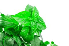 Fresh green Basil herb leaves isolated on white background. Basilicum plant concept. Stock Image