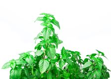 Fresh green Basil herb leaves isolated on white background. Basilicum plant concept. Royalty Free Stock Photography