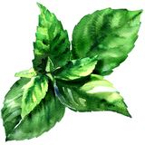 Fresh green basil herb leaves, Ocimum basilicum, spice herb, isolated, close up, hand drawn watercolor illustration on. White background vector illustration
