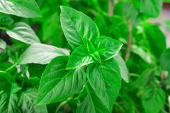 Fresh green Basil herb leaves  on white background. Basilicum plant concept. Stock Images