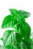Fresh green Basil herb leaves  on white background. Basilicum plant concept. Stock Photos