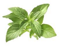 Fresh green basil isolated on white background Royalty Free Stock Photos