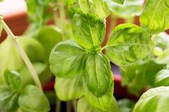 Fresh green basil. Italian laef herbs basilikum Stock Photography