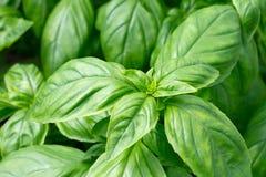 Fresh green basil leaves Stock Photos