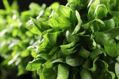 Fresh green basil leaves, closeup. Culinary herb stock image
