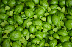Fresh green basil leaves Stock Photo