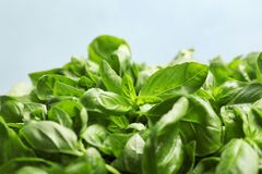 Fresh green basil leaves on light backgroun. D, closeup stock photo