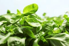 Fresh green basil leaves on light background. Closeup royalty free stock photos