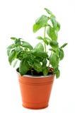 Fresh Green Basil Stock Images