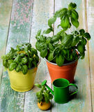 Fresh Green Basil Royalty Free Stock Photos