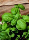 Fresh Green Basil Stock Photo