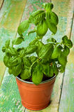 Fresh Green Basil Royalty Free Stock Images