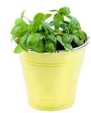Fresh Green Basil Stock Images