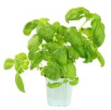 Fresh green basil plant Stock Photo