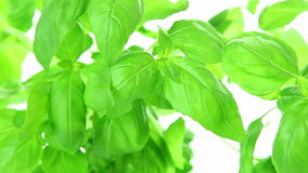 Fresh green basil plants on white background stock video footage