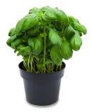 Fresh green basil in a pot Royalty Free Stock Photo