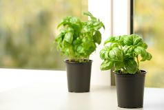 Fresh green basil in pots. On window sill royalty free stock images