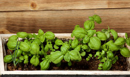 Fresh Green Basil Royalty Free Stock Photos