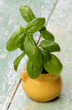 Fresh Green Basil Stock Photo