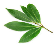 Fresh and green bay leaf Royalty Free Stock Photo