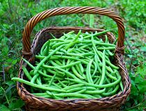 Fresh green beans Royalty Free Stock Image
