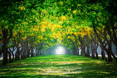 Fresh and green beautiful of summer blooming yellow flowers tunn. El in park , Golden shower,Cassia fistula,perspective land scape use for natural background royalty free stock photo