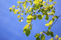 Fresh green beech leaves Royalty Free Stock Image