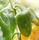 Fresh green bell pepper growing on a plant Stock Image