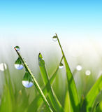 Fresh green blades of grass with dew drops. Stock Images