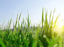 Fresh green blades of grass with dew drops Stock Image