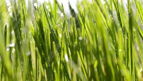 Fresh green blades of grass in rain. stock footage