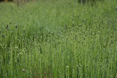 Fresh green blooming field of lavender herbal plants. Royalty Free Stock Photos