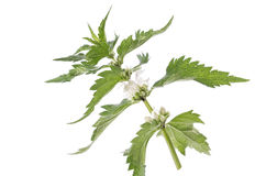 Fresh green blossoming nettle isolated Stock Photography