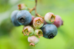 Fresh green and blue blueberries in nature Stock Images
