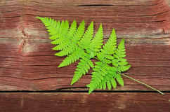 Fresh green bracken twig Stock Photos