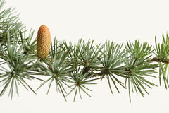 Fresh green branch of a fir tree with cone Stock Image