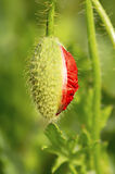 Fresh green bud of a poppy flower just beginning to open. Royalty Free Stock Photography