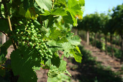 Fresh green   bunch of grapes on the plant Royalty Free Stock Image