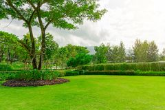 Fresh green Burmuda grass smooth lawn as a carpet with curve form of bush, trees on the background, good maintenance lanscapes in. A big Rain tree on fresh green stock photography