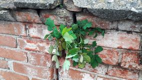 Fresh green bush is growing on on a old brick wall. Natural background, leaves and textures of the concrete brick and royalty free stock photo