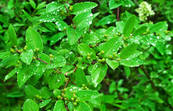 Fresh green bush leaves after rain Stock Photo
