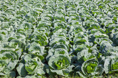 Fresh green cabbage in agriculture plantation Stock Photos