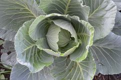 Fresh green cabbage in the field. stock image