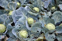 Fresh and green cabbage. In garden outdoors Stock Images
