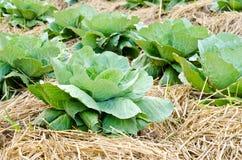 Fresh green cabbage garden. Fresh green cabbage in garden Royalty Free Stock Images