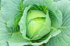 Fresh green cabbage. In garden Stock Photos