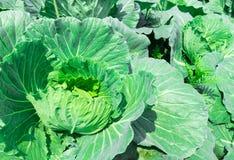 Fresh green Cabbage in the garden, selective focus.  Royalty Free Stock Photos