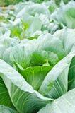 Fresh green cabbage in the garden. Fresh green cabbage in the vegetable garden Royalty Free Stock Photo