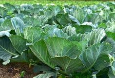 Fresh green cabbage Stock Photos